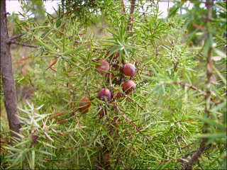 Juniperus oxycedrus9