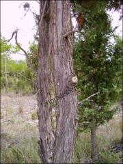 Juniperus oxycedrus12
