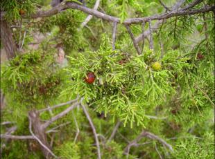 Juniperus phoenicea3
