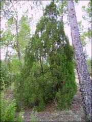 Juniperus phoenicea1