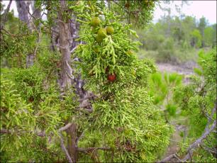 Juniperus phoenicea4