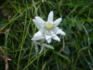 Leontopodium alpinum1