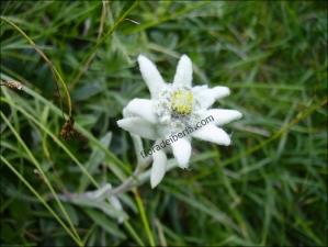 Leontopodium alpinum2