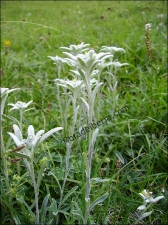 Leontopodium alpinum3