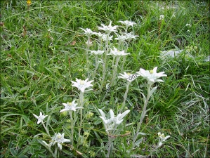 Leontopodium alpinum4