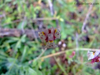 Linaria amethystea (5)