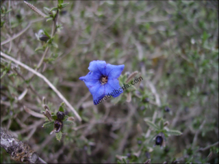 Lithodora fruticosa1