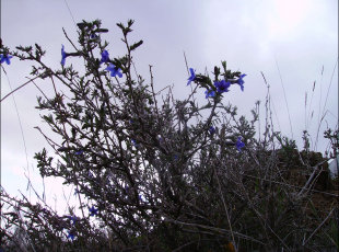 Lithodora fruticosa3