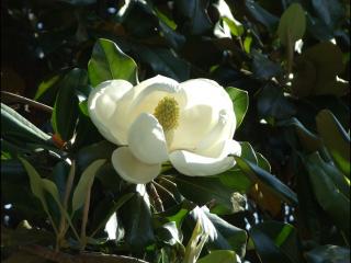Magnolia grandiflora5