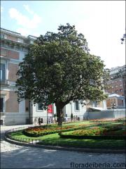 Magnolia grandiflora4