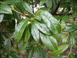 Magnolia grandiflora1