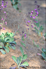Moricandia moricandioides10