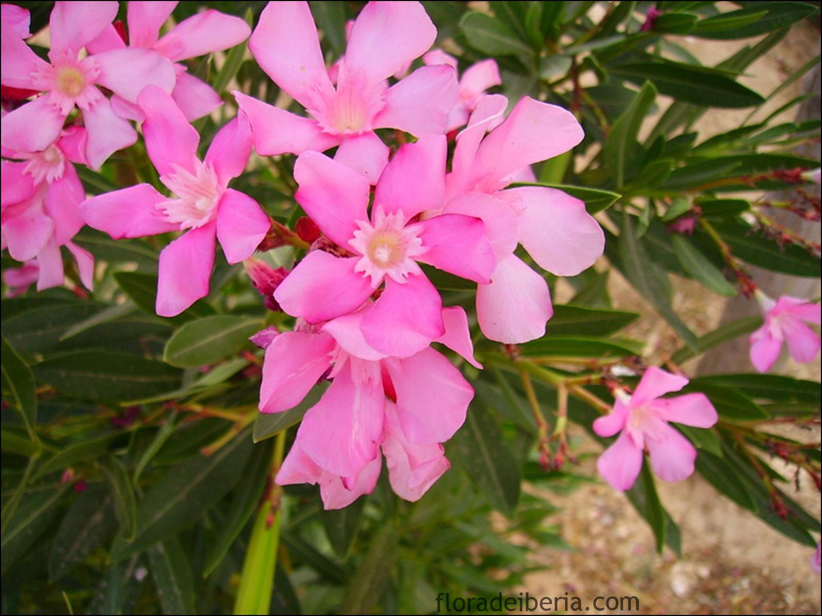 Nerium oleander adelfa baladre - Laurel de jardin ...