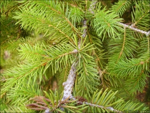 Picea abies1