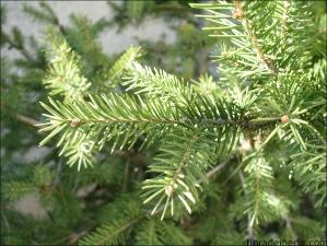 Picea abies4
