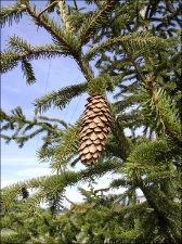 Picea abies5