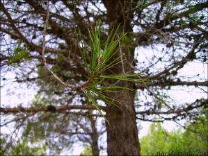 Pinus halepensis2