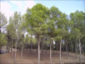 Pinus halepensis3