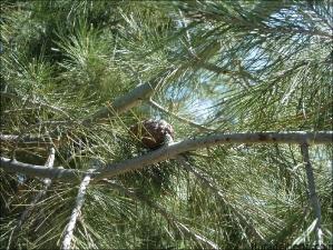 Pinus halepensis4