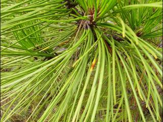 Pinus pinaster3