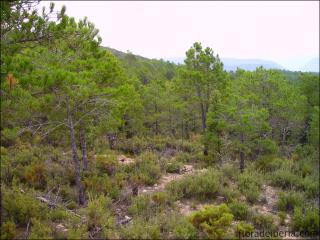 Pinus pinaster1
