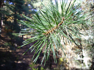 Pinus sylvestris1