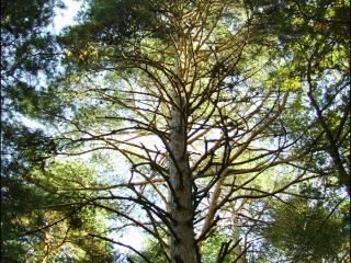 Pinus sylvestris4