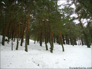 Pinus sylvestris10