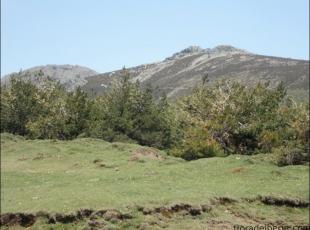 Pinus uncinata5