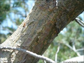Pinus uncinata1