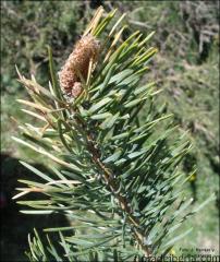 Pinus uncinata4