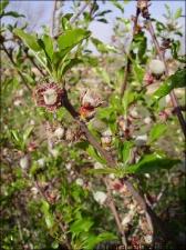 Prunus dulcis14