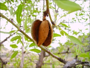 Prunus dulcis2