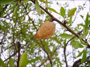 Prunus dulcis5