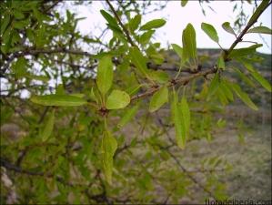 Prunus dulcis6