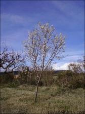 Prunus dulcis7