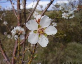 Prunus dulcis8