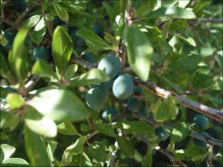 Prunus spinosa3