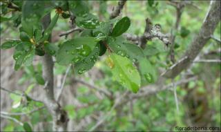 Prunus spinosa1