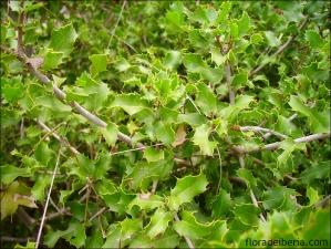 Quercus coccifera1