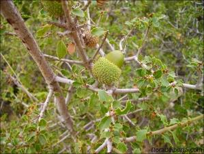 Quercus coccifera4