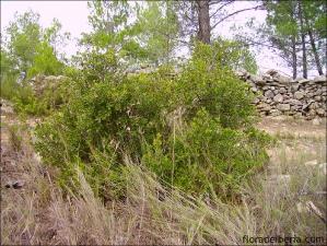 Quercus coccifera5