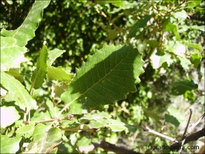 Quercus faginea subsp. broteroi