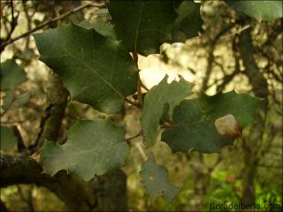 Quercus ilex13
