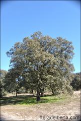 Quercus ilex21