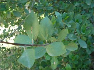 Rhamnus alaternus1