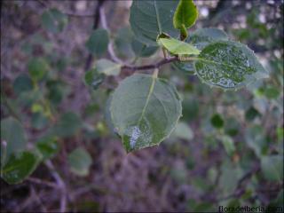 Rhamnus alaternus4