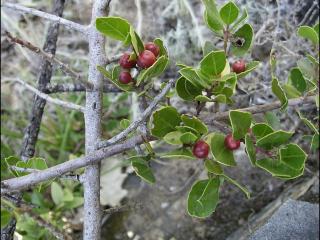 Rhamnus alaternus9