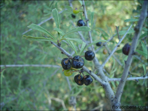 Rhamnus lycioides4