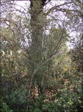 Rhamnus lycioides5